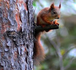 Écureuil assis sur une branche. Source : http://data.abuledu.org/URI/51c45002-ecureuil-assis-sur-une-branche
