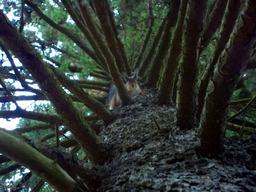 Écureuil dans un pin. Source : http://data.abuledu.org/URI/51c45789-ecureuil-dans-un-pin