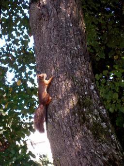 Écureuil grimpant le long d'un pin. Source : http://data.abuledu.org/URI/51c44bfd-ecureuil-grimpant-le-long-d-un-pin