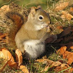 Écureuil roux. Source : http://data.abuledu.org/URI/5045d170-ecureuil-roux