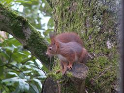 Écureuil roux. Source : http://data.abuledu.org/URI/51c44d5c-ecureuil-roux