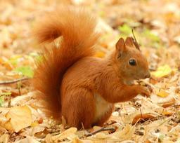Écureuil roux en automne. Source : http://data.abuledu.org/URI/51c445f0-ecureuil-roux-en-automne