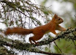 Écureuil roux marchant sur une petite branche. Source : http://data.abuledu.org/URI/51c450b0-ecureuil-roux-marchant-sur-une-petite-branche