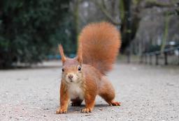 Écureuil sur le chemin. Source : http://data.abuledu.org/URI/51c44525-ecureuil-sur-le-chemin