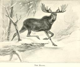Élan dans la neige. Source : http://data.abuledu.org/URI/587fb326-elan-dans-la-neige