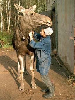 Élan de ferme. Source : http://data.abuledu.org/URI/5208068d-elan-de-ferme