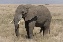 Éléphant. Source : http://data.abuledu.org/URI/47f50cbe--l-phant