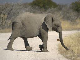 Éléphant. Source : http://data.abuledu.org/URI/502101ea-elephant