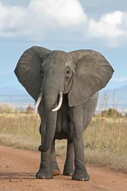 Éléphant d'Afrique. Source : http://data.abuledu.org/URI/504f2a13-elephant-d-afrique
