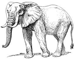 Éléphant d'Afrique. Source : http://data.abuledu.org/URI/53e9c1e5-elephant-d-afrique