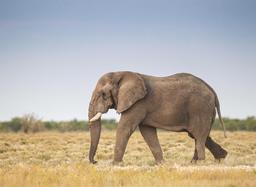 Éléphant dans le parc d'Etosha en Namibie. Source : http://data.abuledu.org/URI/55063cd9-elephant-dans-le-parc-d-etosha-en-namibie