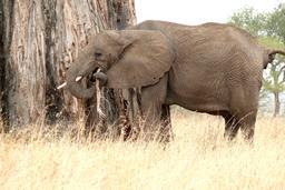 Éléphant mangeant l'écorce d'un baobab. Source : http://data.abuledu.org/URI/53400c38-elephant-mangeant-l-ecorce-d-un-baobab