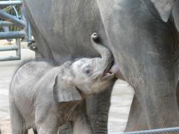 Éléphanteau se nourrissant. Source : http://data.abuledu.org/URI/5398e042-elephanteau-se-nourrissant-