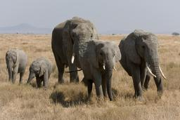 Éléphants. Source : http://data.abuledu.org/URI/47f50cd4-elephants