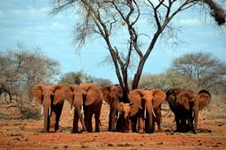 Éléphants et éléphanteau au Kenya. Source : http://data.abuledu.org/URI/534e3ab3-elephants-et-elephanteau-au-kenya