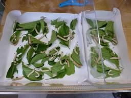 Élevage de ver à soie. Source : http://data.abuledu.org/URI/5828e1a6-elevage-de-ver-a-soie