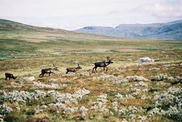 Élevage extensif de rennes en Suède. Source : http://data.abuledu.org/URI/52080eb7-elevage-extensif-de-rennes-en-suede