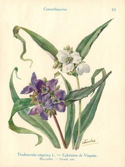 Ephémères de Virginie. Source : http://data.abuledu.org/URI/53ad5b00-ephemeres-de-virginie