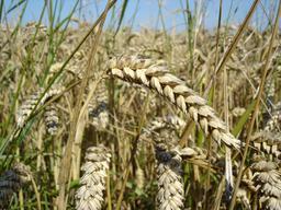 Épi de blé. Source : http://data.abuledu.org/URI/52080733-epi-de-ble