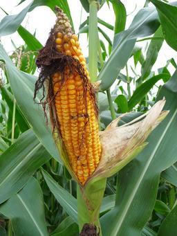 Épi de maïs mûr. Source : http://data.abuledu.org/URI/5288cc33-epi-de-mais-mur