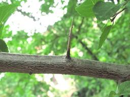 Épine de prunier de Damas. Source : http://data.abuledu.org/URI/53ab076f-epine-de-prunier-de-damas
