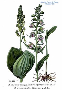 Epipactis à large feuilles et Listère à feuilles ovales. Source : http://data.abuledu.org/URI/5063ffde-epipactis-a-large-feuilles-et-listere-a-feuilles-ovales