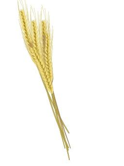 Épis de blé. Source : http://data.abuledu.org/URI/5049a129-epis-de-ble