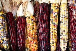 Épis de maïs de différentes couleurs. Source : http://data.abuledu.org/URI/5288c747-epis-de-mais-de-differentes-couleurs