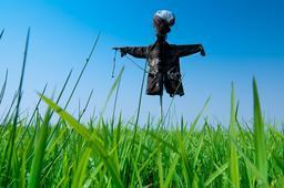 Épouvantail dans un champ. Source : http://data.abuledu.org/URI/53426fd5-epouvantail-dans-un-champ
