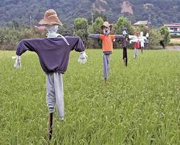 Épouvantails japonais dans un champ de riz. Source : http://data.abuledu.org/URI/520ac8d0-epouvantails-japonais-dans-un-champ-de-riz