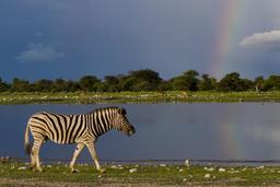 Zèbre des plaines. Source : http://data.abuledu.org/URI/550753fe-equus-quagga-namutoni-2012-jpg