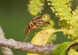 Eristalinus quinquestriatus. Source : http://data.abuledu.org/URI/5323828d-eristalinus-quinquestriatus