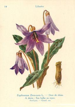 Erythronium ou Dent-de-chien. Source : http://data.abuledu.org/URI/53ad5dae-erythronium-ou-dent-de-chien