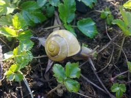 Escargot. Source : http://data.abuledu.org/URI/5234b8ed-escargot
