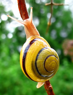 escargot de jardin. Source : http://data.abuledu.org/URI/50406e2c-escargot-de-jardin