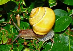 Escargot des bois à coquille jaune. Source : http://data.abuledu.org/URI/534301bf-escargot-des-bois-a-coquille-jaune