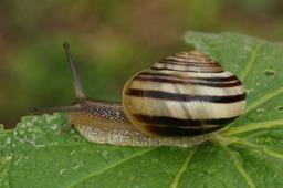 Escargot des jardins. Source : http://data.abuledu.org/URI/5342f114-escargot-des-jardins
