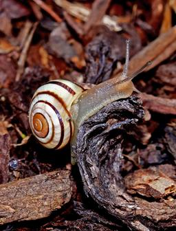 Escargot des jardins. Source : http://data.abuledu.org/URI/5342f1d5-escargot-des-jardins