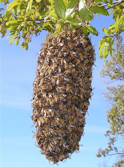 Essaim d'abeilles. Source : http://data.abuledu.org/URI/51e0656d-essaim-d-abeilles