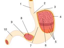 Estomac de l'homme. Source : http://data.abuledu.org/URI/50df4de4-estomac-de-l-homme