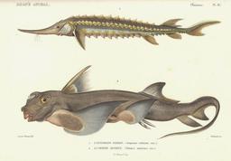 Esturgeon de Sibérie et Chimère. Source : http://data.abuledu.org/URI/52d83e61-esturgeon-de-siberie-et-chimere