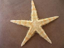 Étoile de mer. Source : http://data.abuledu.org/URI/51489d35-etoile-de-mer