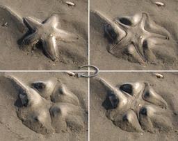 Étoile de mer dans le sable. Source : http://data.abuledu.org/URI/51489c28-etoile-de-mer-dans-le-sable