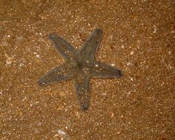 Étoile de mer posée sur le sable. Source : http://data.abuledu.org/URI/51489dbb-etoile-de-mer-posee-sur-le-sable