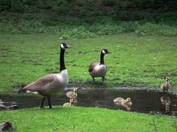 Famille de Bernaches du Canada. Source : http://data.abuledu.org/URI/5412a586-famille-de-bernaches-du-canada
