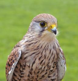 Faucon crécerelle. Source : http://data.abuledu.org/URI/564cf279-faucon-crecerelle