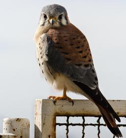 Faucon crécerelle d'Amérique. Source : http://data.abuledu.org/URI/5501d240-faucon-crecerelle-d-amerique