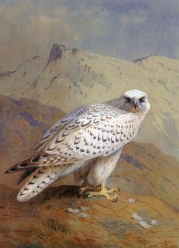 Faucon gerfaut. Source : http://data.abuledu.org/URI/51339b82-faucon-gerfaut