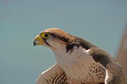 Faucon lanier. Source : http://data.abuledu.org/URI/5414c864-faucon-lanier