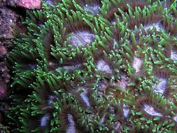 Alimentation nocturne de coraux durs. Source : http://data.abuledu.org/URI/58500b55-favites-flexuosa-jpg